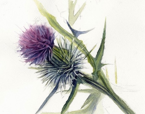 purple thistle